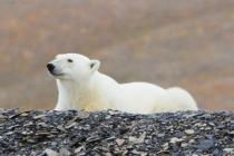 800 ijsbeer liggend
