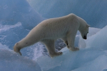 800 ijsbeer lopend