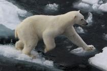 800 ijsbeer op ijschotsen