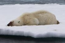 800 ijsbeer slapend