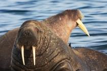 800 walrussen