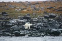 14 ijsbeer