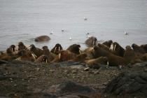 19 groep walrussen
