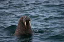 25 walrus