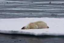 34 ijsbeer slaapt