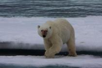 35 ijsbeer