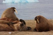 38 walrussen