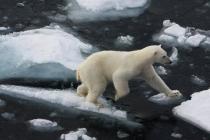 40 ijsbeer