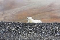 44 ijsbeer