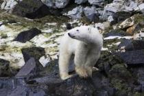 50 ijsbeer