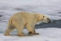 55 ijsbeer